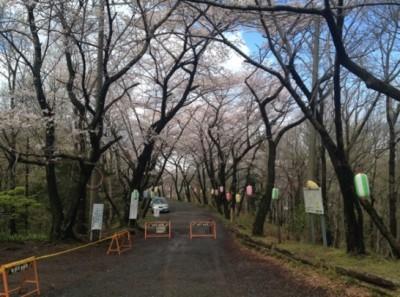 道沿いに桜!桜!