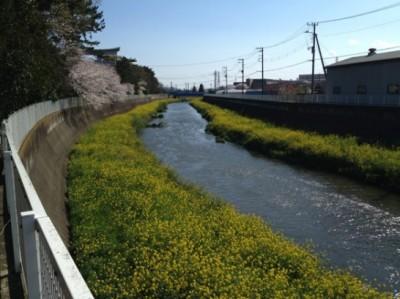 目久尻川沿いの菜の花と桜