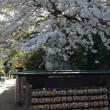 寒川神社境内の桜