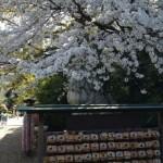八方除・視聴率祈願の寒川神社は桜の名所でもあり