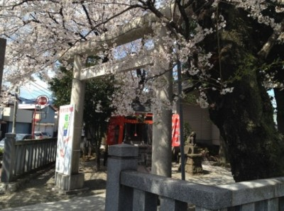 鳥居から桜が迎える