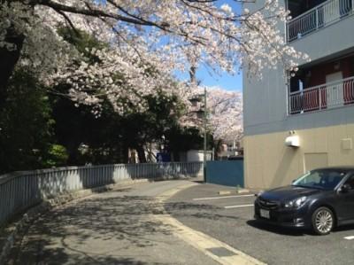 塀からのぞく桜