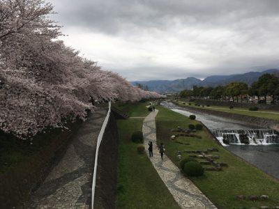 桜のある側の土手で花見を楽しむのも良し