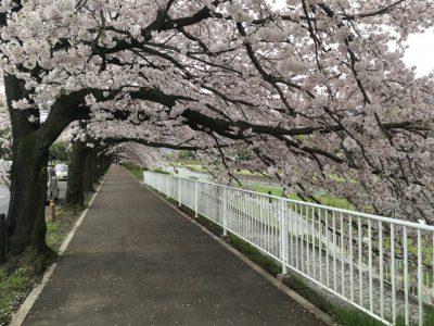無限に続くかと思われる桜のトンネルをくぐれる遊歩道!
