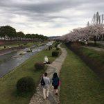 秦野市水無川沿いの満開の桜を見に行ってきた